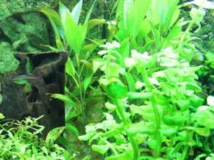 Gegen Algen im Aquarium: Pflanzen