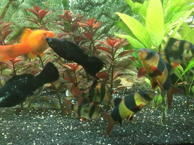 Fisch passen zusammen Black Molly