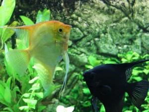 Fische passen zusammen - Skalare
