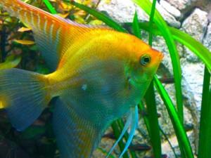 Aquarium-Krankheiten: Lochkrankheit