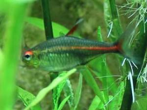 Aquarium Fische Glühlichtsalmler