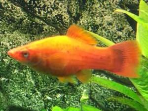 Aquarium Fische Korallenplaty