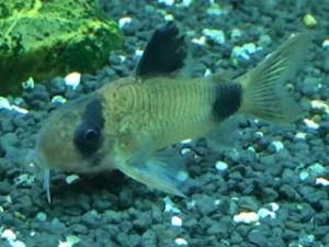 Aquarium Fische Panzerwels