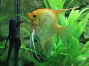 Aquarium Fische Skalar