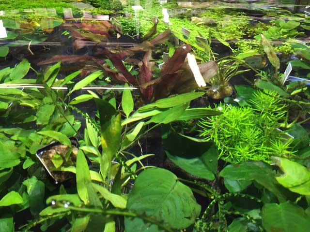 Aquariumpflanzen Wissenswertes