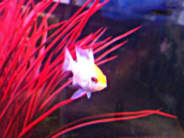 Aquarium-Fische Herkunft