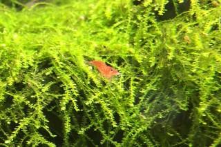 pflanzen im garnelen aquarium diese arten eignen sich. Black Bedroom Furniture Sets. Home Design Ideas