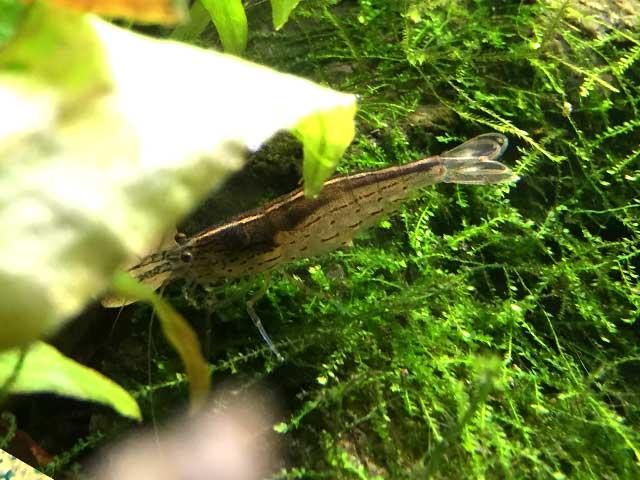 Garnelen-Aquarium richtig füttern