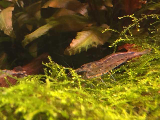 Garnelen-Aquarium Pflege