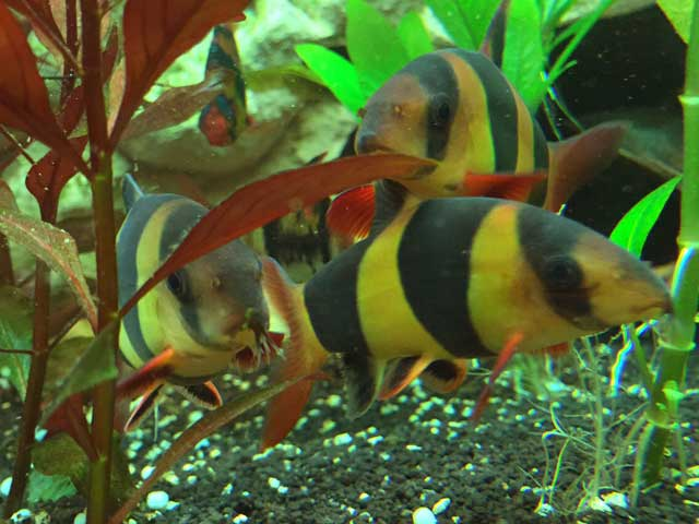 Schnecken im Aquarium Gegenmittel