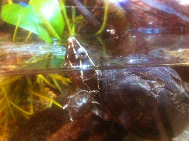 Wasserschildkröten-Aquarium 7 Fehler