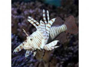 Aquarium-Deko JBL Feuerfisch