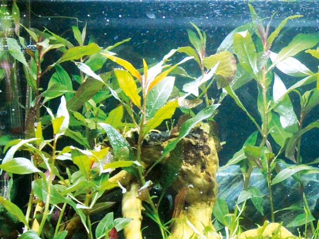 Welche aquarium pflanzen wachsen auf wurzeln aquarium for Welche fische fur miniteich