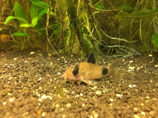 Welse im Aquarium - Panzerwels