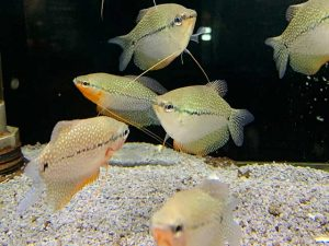 Fadenfische Aquarium