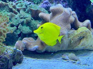 der gelbe Segelflossendoktor