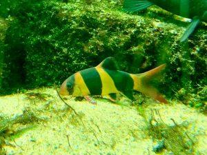 Prachtschmerlen Aquarium