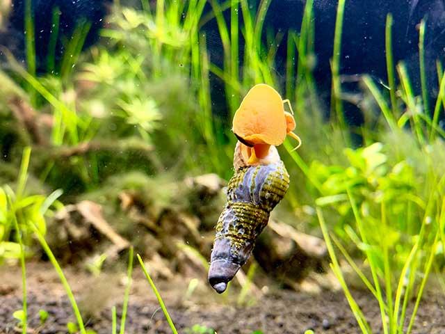 Raubschnecken im Aquarium
